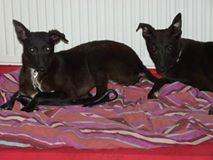 Hondenleed in Nederland: Samson en Delilah