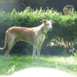 Stichting Dogs from Spain - Rapid 12