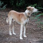 Stichting Dogs from Spain - Rapid 2