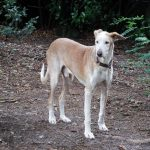 Stichting Dogs from Spain - Rapid 4
