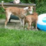 Stichting Dogs from Spain - Rapid 8