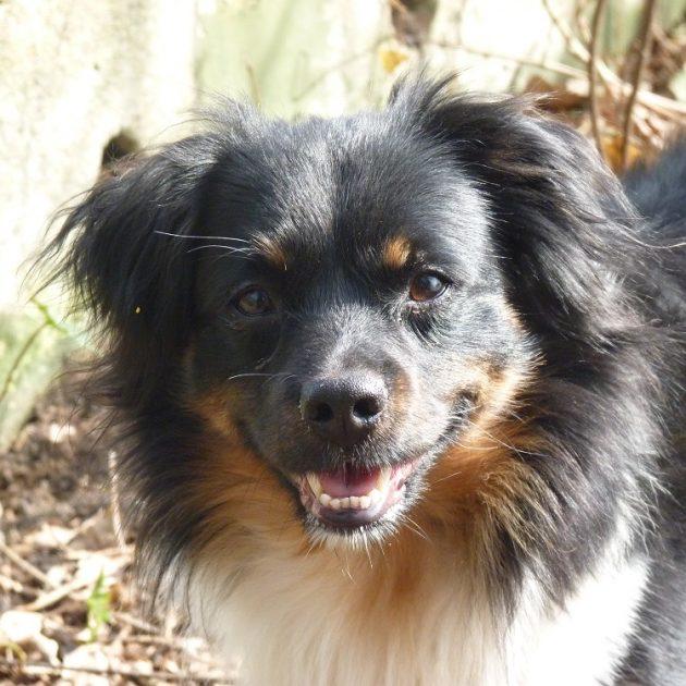 Pedro, kruising Spaanse Peper hond